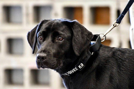 CIA, young detector dog Lulu, during her initial training as a bomb detector dog.