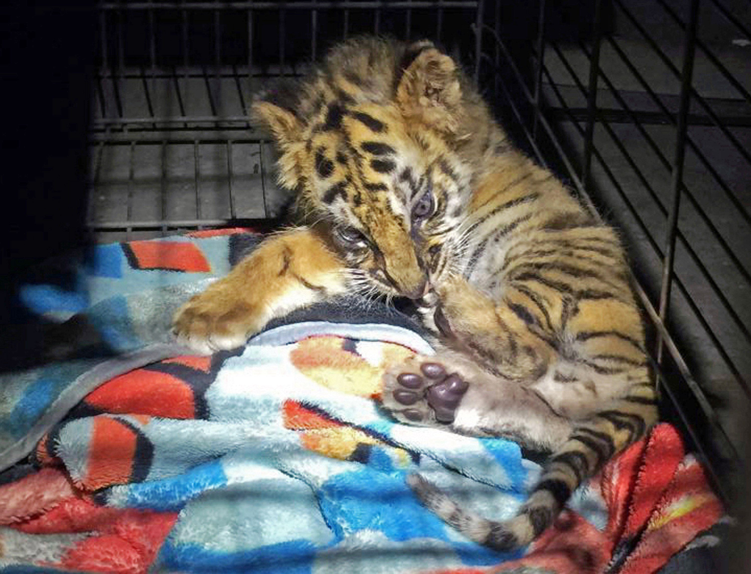 FILE - This Aug. 23, 2017 file photo provided by the U.S. Customs and Border Protection shows a male tiger cub that was confiscated at the U.S. border crossing at Otay Mesa  Wednesday, Oct. 18, 2017.