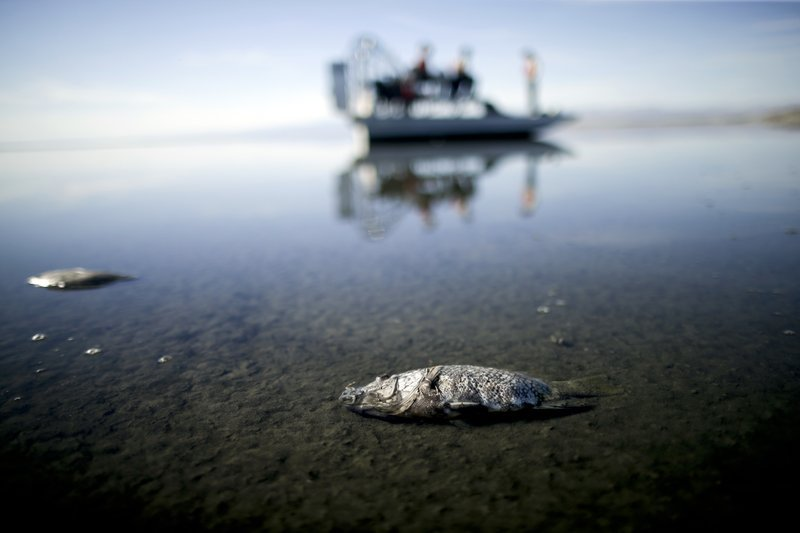 In this April 29, 2015 file photo, oxygen-starved tilapia float in a shallow Salton Sea bay near Niland, Calif.