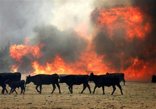 Cattle move to avoid the flames of a large grass fire in a farm off of Air Depot between 63rd and Wilshire in Oklahoma City, Tuesday, Aug. 30, 2011. (AP Photo/The Oklahoman, Paul Hellstern)