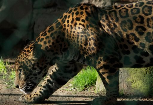 In this photo taken Aug. 17, 2011, a jaguar walks in a public zoo that houses animals captured from drug traffickers, pet smugglers and circuses without permits for their animals in Zacango, Mexico. (AP)