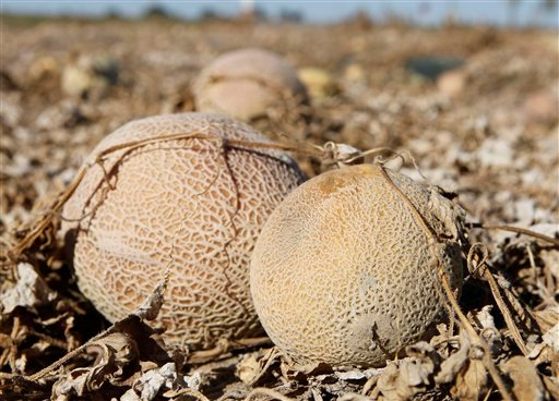 FILE - In this Sept. 28, 2011, file photo, cantaloupes rot in the afternoon heat on a field on the Jensen Farms near Holly, Colo.