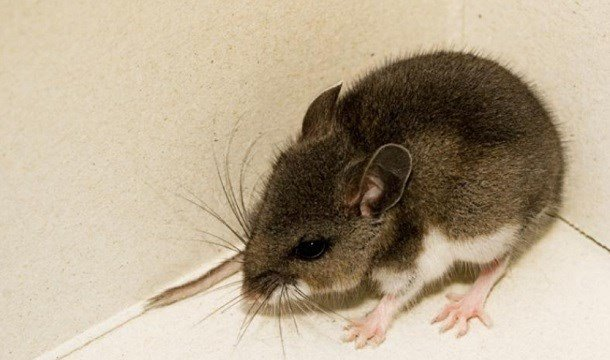 Deer mouse tests positive for hantavirus in San Diego County