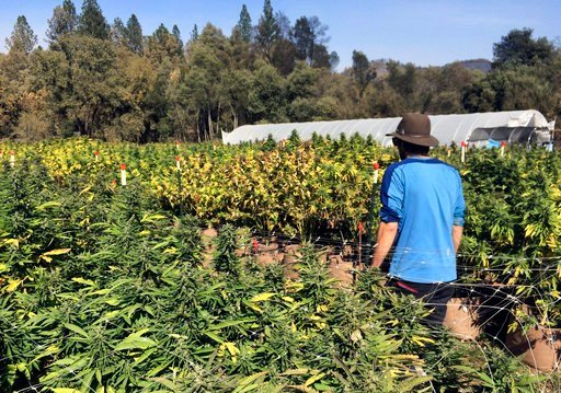 FILE - In this Oct. 15, 2017, file photo, Marcos Morales, co-founder of pot company Legion of Bloom, walks through his farm of ready-to-harvest marijuana plants in Glen Ellen, Calif.