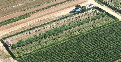 An aerial view of marijuana in the middle field, as big bright green plants, shows it growing next to farmland Wednesday, Oct. 12, 2011 in Sanger, Calif.  (AP Photo/Gary Kazanjian)