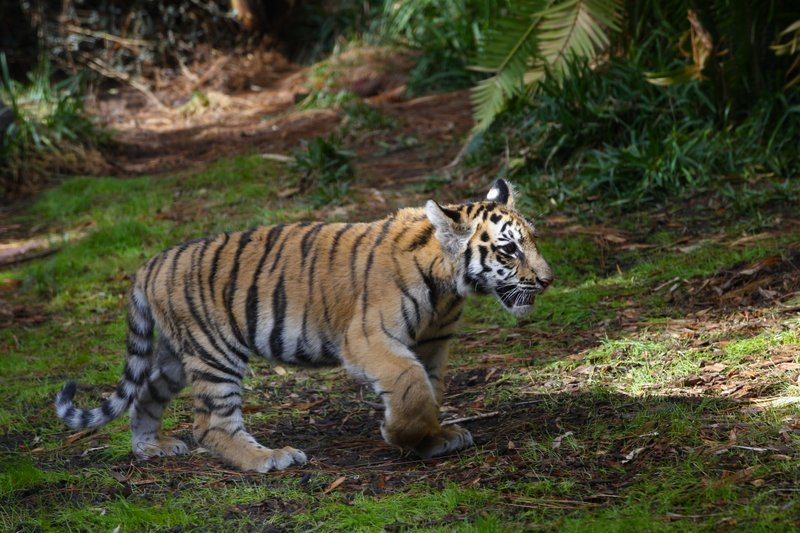 In this Nov. 28, 2017 photo, a rescued Bengal tiger cub played and explored the enclosure at the San Diego Zoo Safari Park.