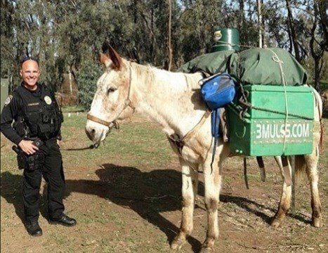 "The image of a white mule, known as ""Little Girl"" who was stolen provided by Escondido Police Department."