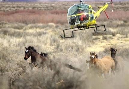 In this January 2004 file photo, the Bureau of Land Management uses a helicopter for gathering 251 wild horses from the Lahontan Herd Management Area in Nevada.(AP Photo/Reno Gazette-Journal. Lisa J. Tolda, File)