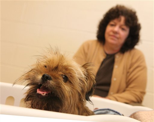 """""""Scamp""""sits with his owner, Reta McKinley of Yelm, Wash. during a visit to the Lacey Animal Clinic on Friday, Dec. 9, 2011 in Lacey,Wash.. (AP Photo/The Olympian, Tony Overman)"""
