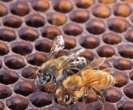 An Africanized honey bee (left) and a European honey bee on a honeycomb. Despite color differences between these two bees, it's difficult to identify them by eye.