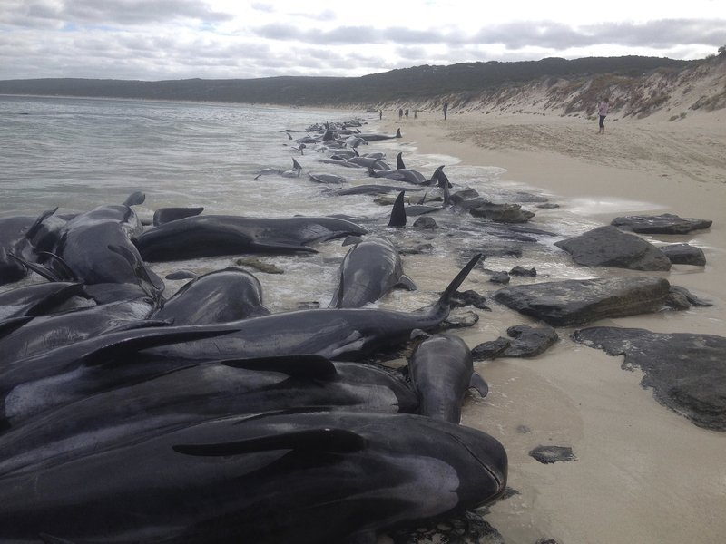 Supplied image of more than 150 short-finned pilot whales who became beached at Hamelin Bay, in Western Australia's south, Friday, March 23, 2018.