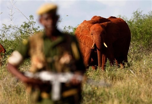 In this March 9, 2010 file photo, Kenya Wildlife Ranger Mohamed Kamanya is seen in front of a herd of elephants in the Tsavo East national park, Kenya. (AP Photo/Karel Prinsloo, File)