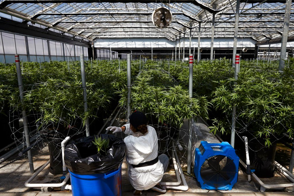 A worker picks unnecessary leaves from cannabis plants at Glass House Farms in Carpinteria, Calif. Greenhouses that once produced flowers are seen as ideal for growing marijuana. (AP Photo/Jae C. Hong)