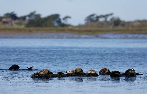 In this photo taken Monday, March 26, 2018, sea otters are seen together along the Elkhorn Slough in Moss Landing, Calif.  (AP Photo/Eric Risberg)