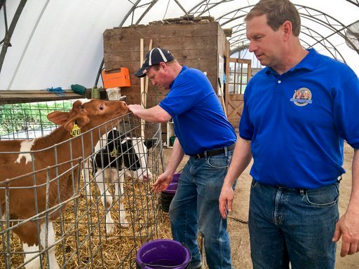 In this Thursday, May 17, 2018 photo, Dan Ripley, left, and his brother Tom Ripley of the Ripley Family Farm check on a Guernsey calf at their facility in Moravia, N.Y., Thursday May 17, 2018. (AP Photo/Michael Hill)