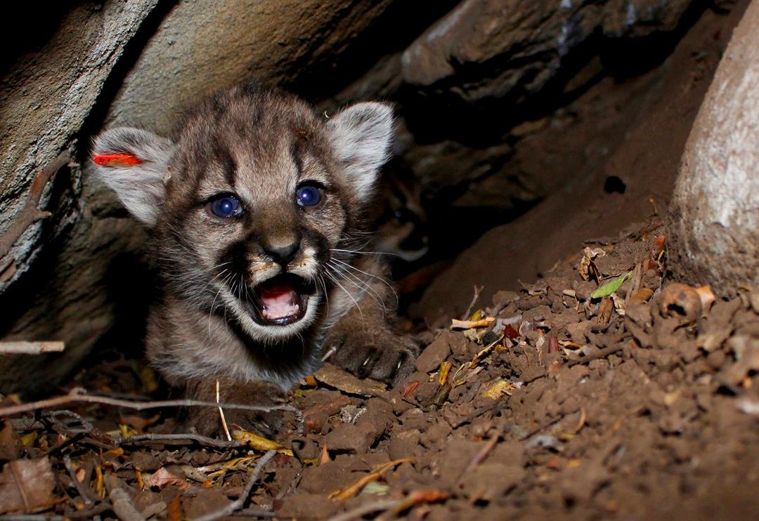 This photo from the National Park Service shows a mountain lion kitten identified as P-68. This is one of four mountain lion kittens found by researchers studying the wild cats living in California's Santa Monica Mountains. (National Park Service via AP)