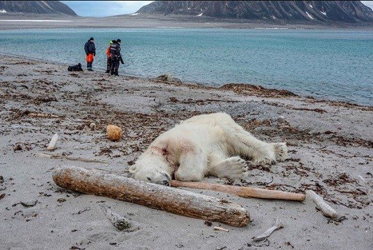 Polar bear shot after attacking cruiseship guard