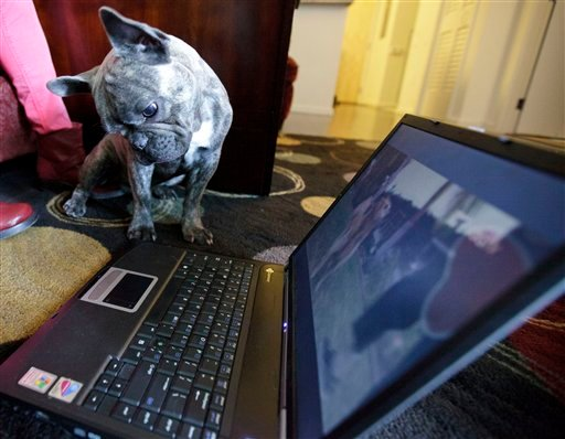 In this April 7, 2012 picture, Bleu, a French bulldog owned by Maria Catania, watches DogTV.