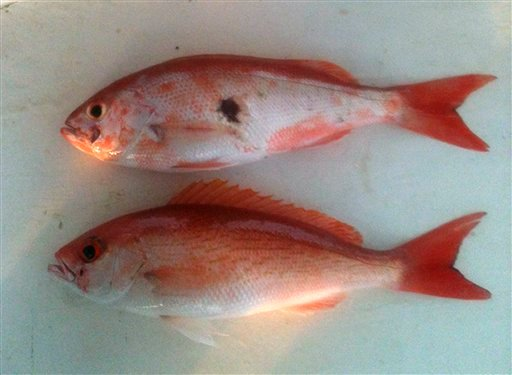 This 2011 photo provided by Donald Waters shows fish harvested from the Gulf of Mexico with unusual lesions and infections. (AP Photo/Courtesy Donald Waters)