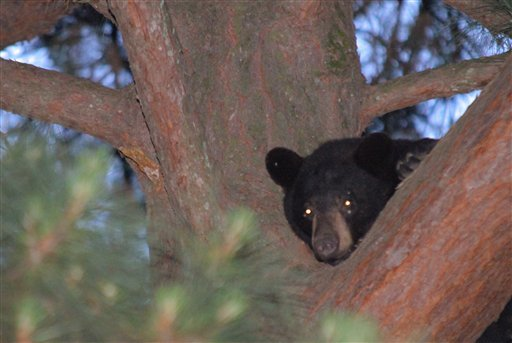 A bear stays parched up a tree on April 30, 2012 in Conway, Ark. Officials shot the bear with tranquilizer darts late Monday, causing him to fall asleep. (AP Photo/The Log Cabin Democrat, Courtney Spradlin)