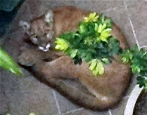 This image provided by the Santa Monica Police Department shows a mountain lion cornered Tuesday May 22, 2012 in Santa Monica, Calif.