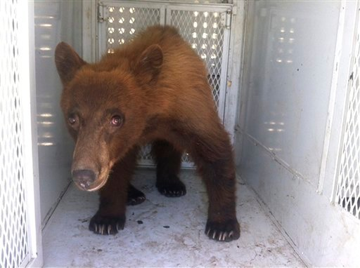 In this photo provided by Kern County Animal Control, a black bear that wandered onto school property during a Bakersfield school graduation is shown before being released in Kern County, Calif., Thursday, May 31, 2012.