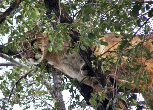 This photo Sept. 14, 2010 file photo, released by the Nebraska Game and Parks service, shows a cougar in a tree on a ranch in the Nebraska Panhandle near Hemingford. (AP Photo/Nebraska Game and Parks, File)
