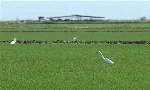 In this photo taken June, 19, 2012, , a Great Egret, foreground right, feeds in a rice field near Williams, Calif. (AP Photo/Rich Pedroncelli)