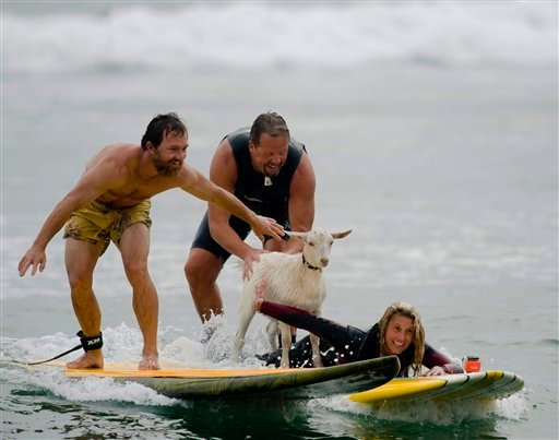 Dana McGregor, from Pismo Beach, far left, surfs with his pet goat Pismo and pals Mark and Debbie Gale, of San Clemente in San Clemente, Calif., on Wednesday July 11, 2012. (AP Photo/The Orange County Register, Rod Veal)