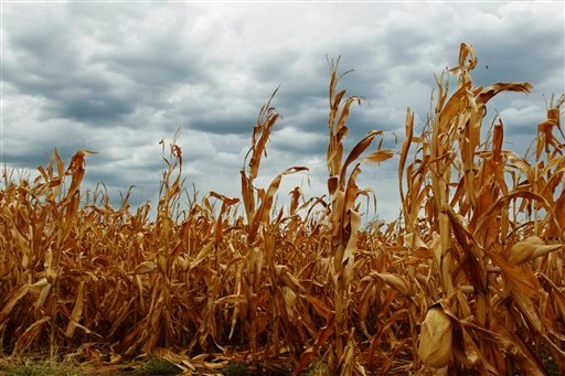 Dry corn is pictured in a field as rain clouds threaten near Paoli, Okla., Thursday, July 26, 2012. A brief respite from the drought was expected with rain chances of 50 to 60 percent across Oklahoma through sunrise Friday. (AP Photo/Sue Ogrocki)