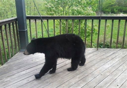 In this May 9, 2012 photo provided by Donna Wiltsie, a bear searches a porch for food in Catskill, N.Y.  (AP Photo/Donna Wiltsie)