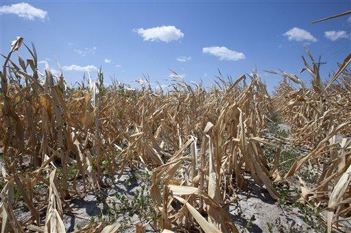 A dry field of corn is seen near Ashland, Neb., Thursday, Aug. 9, 2012. (AP Photo/Nati Harnik)
