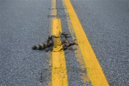 This photo provided by Sean McAfee from Thursday, Aug. 2, 2012, shows a dead raccoon that McAfee saw with the road dividing line painted over it before he stopped his motorcycle to take the picture on Franklin Rd. in Johnstown, Pa. (AP Photo/Sean McAfee)