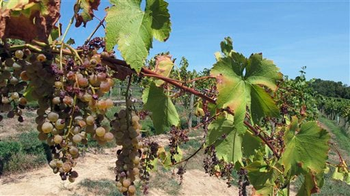 In this Aug. 15, 2012 photo, Chardonel grapes show the shrivelling effects of the Midwest's drought in the six-acre vineyard at OakGlenn Winery near Hermann, Mo. (AP Photo/Jim Suhr)