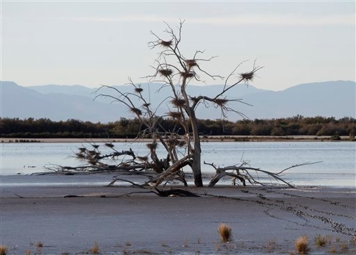 In a Dec. 27, 2010 file photo, a fallen tree supports numerous heron nests in the mud of Southern California's Salton Sea.