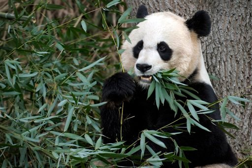 FILE - This Dec. 19, 2011 file photo shows Mei Xiang, the female giant panda at the Smithsonian's National Zoo in Washington. (AP Photo/Susan Walsh, File)