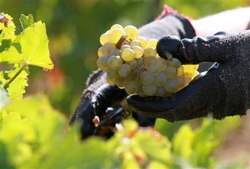 This Sept. 4, 2012 file photo shows a worker collecting white grapes in the vineyards of the Chateau Haut Brion, a Premier Grand Cru des Graves. (AP Photo/Bob Edme, File)