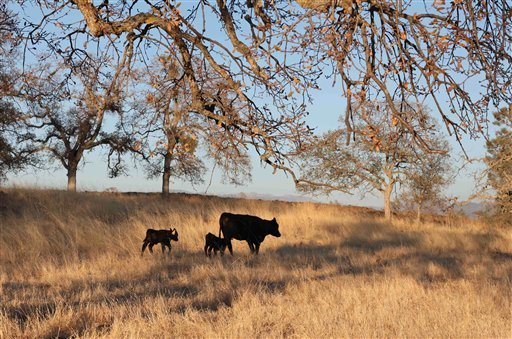 © In this photo taken Monday, November 5, 2012, cattle graze at a preserve run by the Sierra Foothill Conservancy near Prather, Calif. The conservancy's beef operation, Sierra Lands Beef, is certified Animal Welfare Approved and American Grassfed.