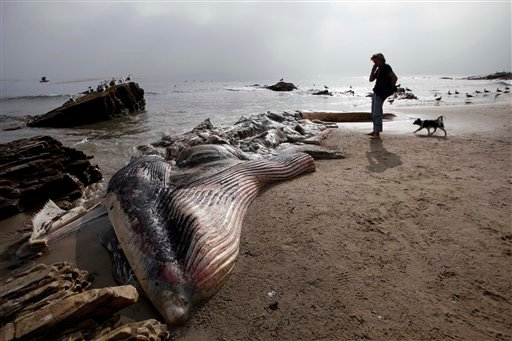© A woman walks her dog past a dead young male fin whale that washed up Monday between the Paradise Cove and Point Dume areas of Malibu, Calif. on Thursday, Dec. 6, 2012.