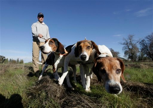 © In this photo taken Tuesday, Dec. 18, 2012, Josh Brones, president of the California Houndsmen for Conservation, walks his hunting dogs, Dollar, left, Sequoia, center and Tanner right, near his home in Wilton, Calif.