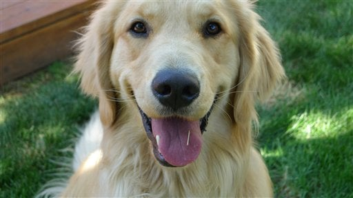 © This 2012 photo provided by Colorado State University, shows a golden retriever, Louie Mesinger, in his backyard during the summer in Boulder, Colo.