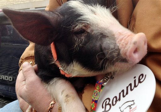 © Bonnie, a Berkshire breed pig about 2 1/2 months old, waits for Iowa Gov. Terry Branstad to pardon her outside the governor's mansion Friday, Feb. 8, 2013 in Des Moines, Iowa.
