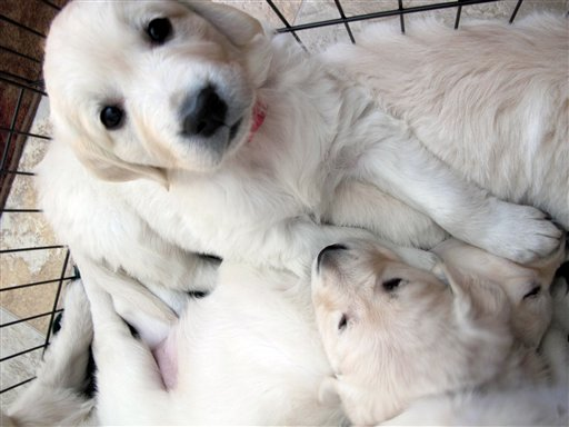 © In this Feb. 1, 2013 photo, an English golden retriever puppy sits with her litter in Fond du Lac, Wis. She will be trained to become a therapy dog for a teenager who was severely injured in a fall from a Wisconsin amusement park ride in 2010.
