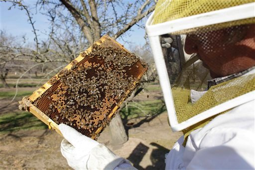 © Bee inspector Neil Trent of Scientific Ag Co., inspects a frame of bees to assess the colony strength Tuesday, Feb. 12, 2013, near Turlock, Calif.