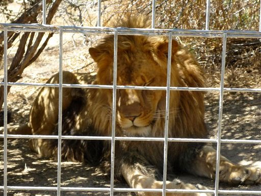 This 2012 photo provided by KFSN-TV shows a 4-year-old male African lion named Couscous at Cat Haven, a private wild animal park in Dunlap, Calif. (AP)