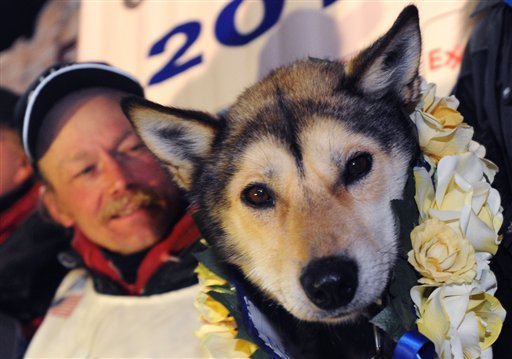 Mitch Seavey holds one of his lead dogs, Taurus, as he poses for photographers at the finish line of the Iditarod Trail Sled Dog race in Nome, Alaska, Tuesday, March 12, 2013. (AP Photo/The Anchorage Daily News, Bill Roth)