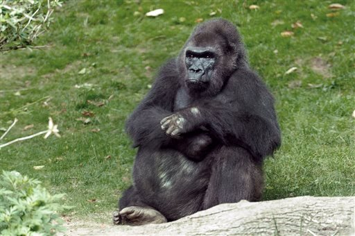 This undated photo provided by the Wildlife Conservation Society in New York, Monday, April 1, 2013, shows Pattycake, the first gorilla born in New York City. Pattycake has died at the Bronx Zoo.