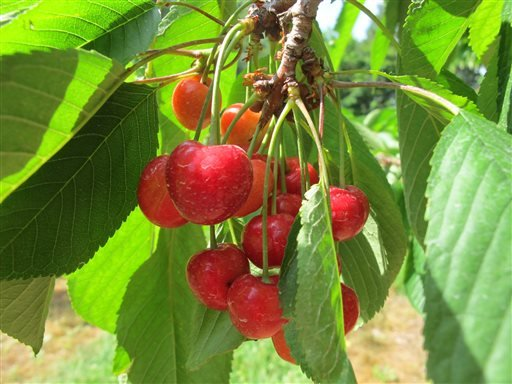 In this June 28, 2013, photo bunches of sweet cherries ripen in an orchard owned by Patrick McGuire of Atwood, Mich. McGuire says a labor shortage is making it difficult to harvest his cherries, apples and other fruit crops. (AP Photo/John Flesher)