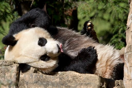 In this Oct. 11, 2012, file photo Mei Xiang, a giant female panda, rests at the National Zoo in Washington.