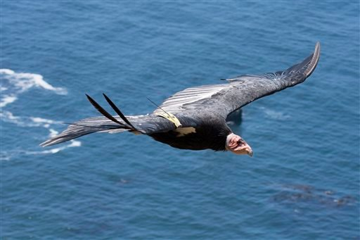 This July 21, 2012, photo released by the Ventana Wildlife Society shows a condor in flight in Big Sur, Calif.